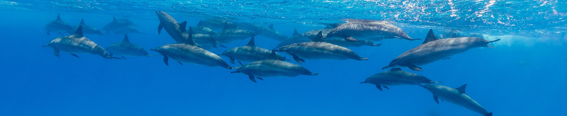 the-dolphin-centre-mozambique-ponta-do-ouro-dolphin-swims